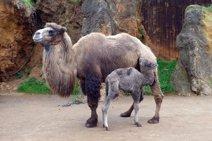 Nace una nueva cría hembra de camello bactriano en Cabárceno