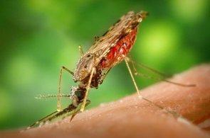Foto: Investigan la resistencia a los fármacos de los mosquitos de la malaria (JAMES GATHANY (CDC)/WIKIMEDIA COMMONS)