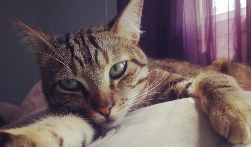 Gato, mascota