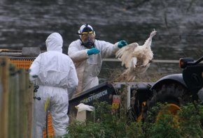 Foto: Detectan nuevos posibles casos de gripe aviar en Iowa (JAMIE MCDONALD/GETTY)