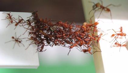 Formigues creen ponts mòbils amb els seus propis cossos
