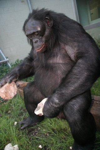 Bonobo usando herramientas