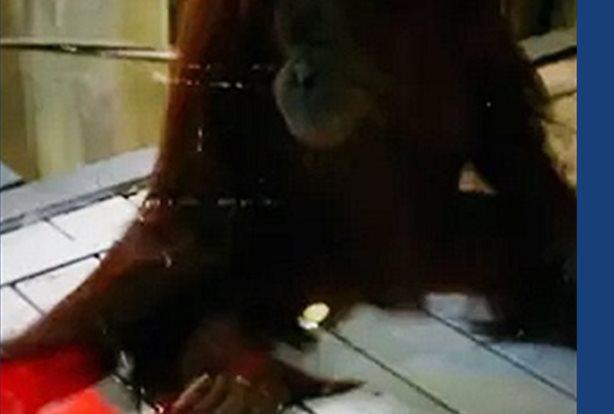 Microsoft prueba Kinect con orangutanes en un zoológico de Australia ZOOS VICTORIA