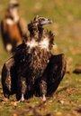 Foto: El Parque Nacional de Monfragüe cuenta ya con la mayor colonia de buitres negros del mundo