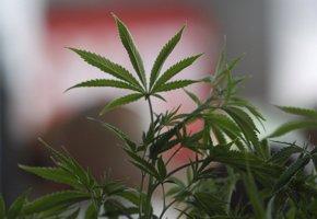 Foto: Las ventas de marihuana para uso recreativo se triplican en un año en EEUU (STEVE DIPAOLA / REUTERS)