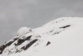Foto: El cambio climático mejora la reproducción de la perdiz blanca, según un estudio de la UdL (BERTRAND MUFFAT JOLY / UDL)