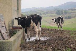 El Govern paga 6,55 milions en ajudes al boví de llet (EUROPA PRESS)
