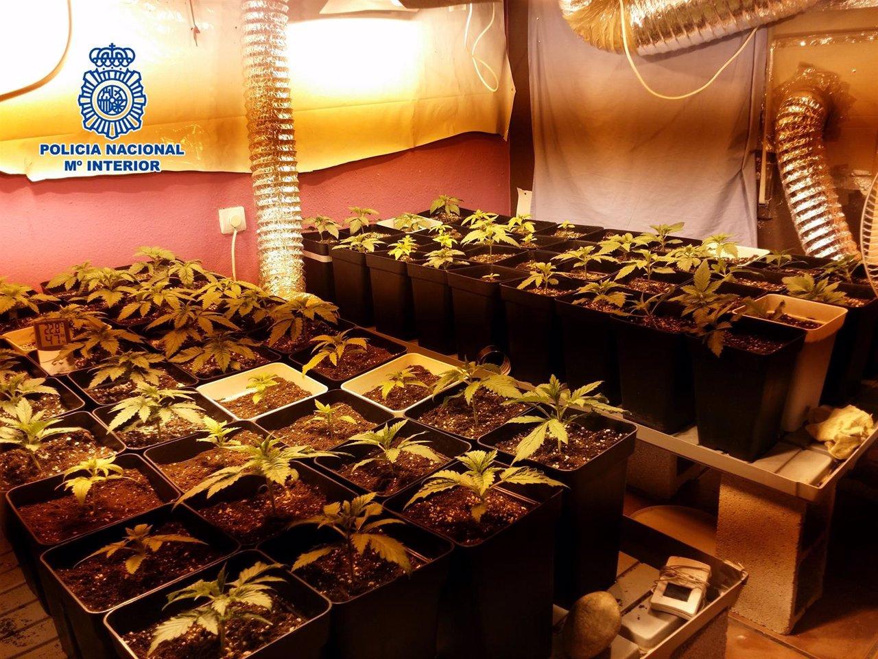 Desmantelan dos plantaciones de marihuana y detenidas cuatro personas - Plantaciones de marihuana interior ...