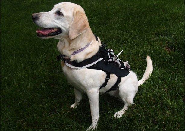 Este chaleco inteligente adiestra a perros de servicio sin ayuda humana UNIVERSIDAD ESTATAL DE CAROLINA DEL NORTE