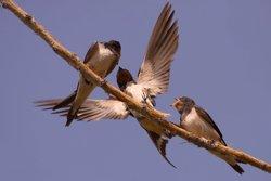 Traslladen nius d'orenetes protegides per facilitar el seu naixement (JAVIER MILLA/ SEO/BIRDLIFE)