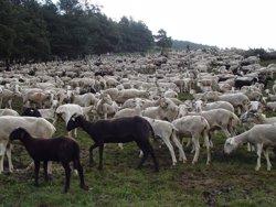 Aran agrupa els seus ramats per defensar-los d'atacs d'óssos (CONSELH GENERAU D'ARAN)