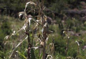 Foto: La sequía deja a 2,8 millones de personas en Centroamérica en escasez alimentaria (JORGE CABRERA / REUTERS)