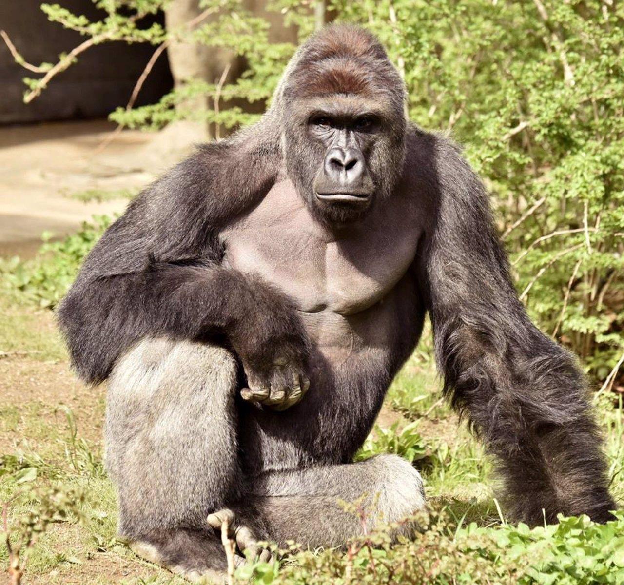 Harambe, el gorila abatido