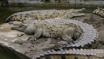 Una dona desapareguda a Austràlia després de ser atacada per un cocodril mentre es banyava