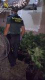 Foto: Sucesos.- La Guardia Civil detiene a un hombre y se incauta de cerca de 600 plantas de marihuana en Monserrat