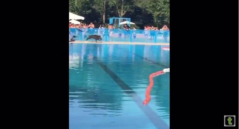 Un jabal se cuela en la piscina municipal de tomelloso for Piscinas tomelloso
