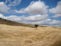 La collita de cereal a Catalunya augmenta un 32% mentre que els preus baixen un 35% (EUROPA PRESS)