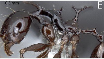 Los dragones de Juego de Tronos 'mutan' en nuevas especies de hormiga