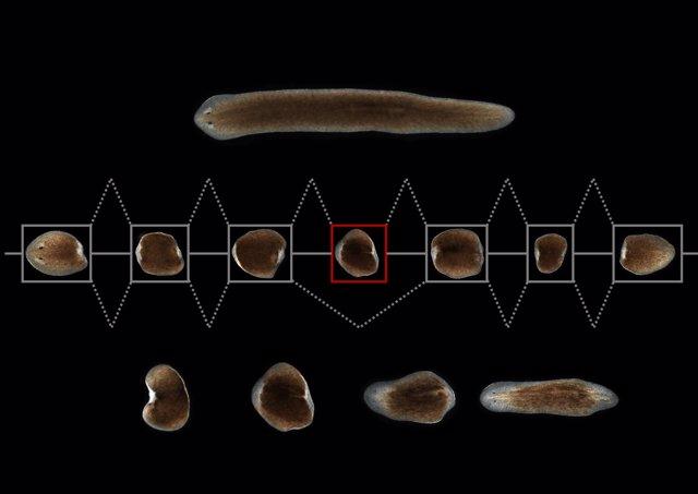 Imagen del estudio del CRG en una planaria