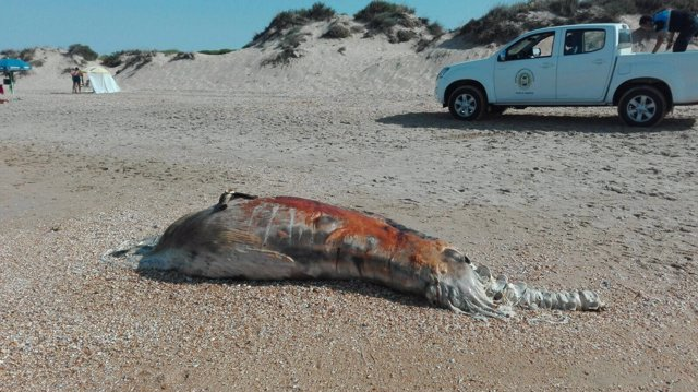 Cetáceo muerto en Punta Umbría