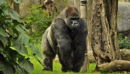 Exdirectora del zoo del gorila Bantú critica la falta de transparencia en las causas de la muerte