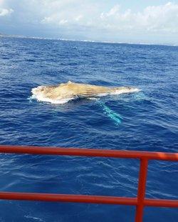 Apareix morta una balena de més de 10 metres flotant a Tarragona (SALVAMENTO MARÍTIMO @SALVAMENTOGOB)