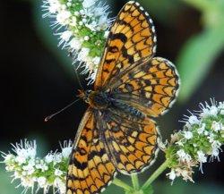 El 70% de les papallones mediterrànies estan desapareixent ( CHRIS VAN SWAAY/ BUTERFLY CONSERVATION EUROPE)