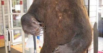 Intervenido un ejemplar de oso disecado que estaba en venta en Albacete