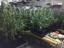 Detingut per tenir 560 plantes de marihuana en una masia de Balsareny (MOSSOS D'ESQUADRA)
