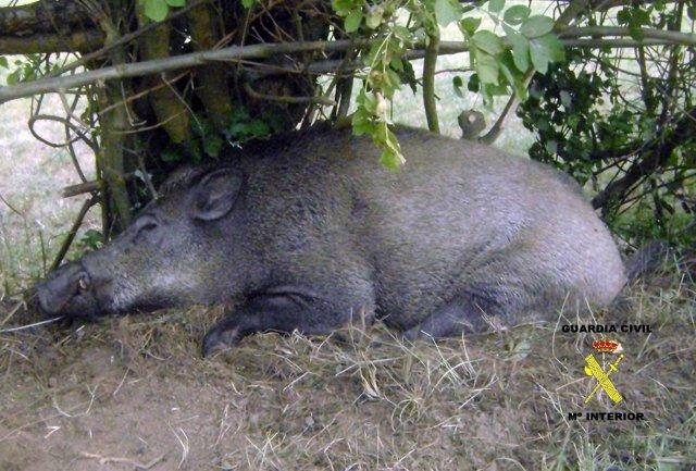 Jabali capturado con un lazo de acero en Asturias