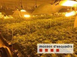 Plantación de marihuana en Sant Adrià del Besòs (Barcelona)