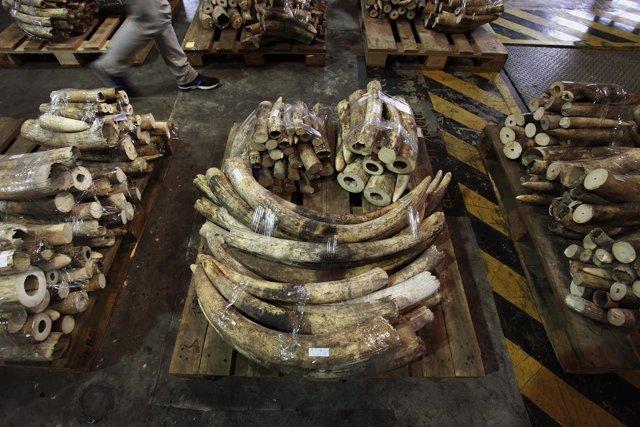Incautación de marfil importado de contrabando.