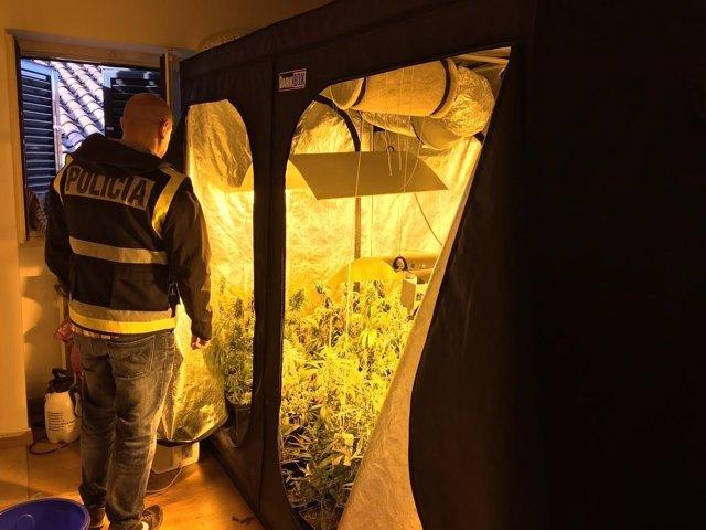 Plantas de marihuana halladas en la vivienda de los detenidos