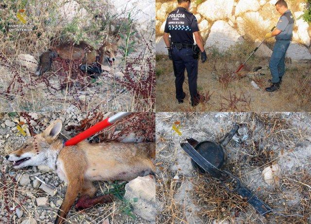 La Guardia Civil Rescata A Un Zorro Atrapado En Un Cepo