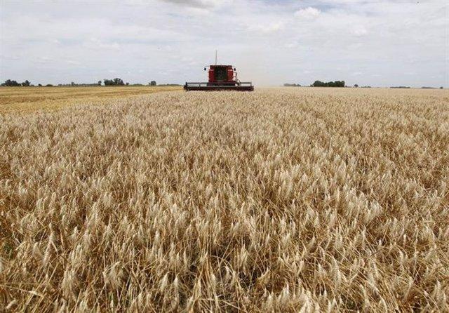Cosecha de trigo en un campo cerca de la localidad de General Belgrano