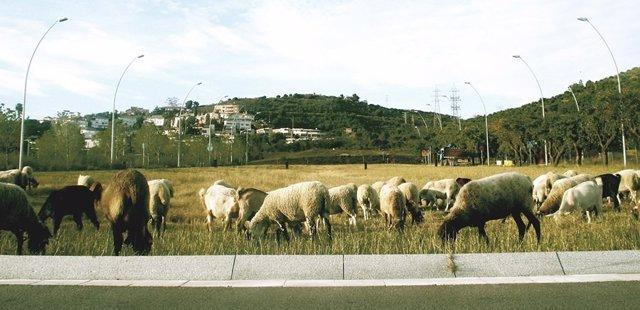 Un rebaño de ovejas pasta en una zona ajardinada