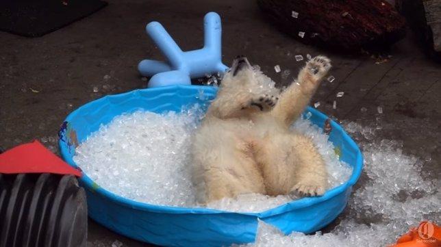 Puede un oso polar pasarlo mejor que en una piscina de hielo for Que piscina es mejor