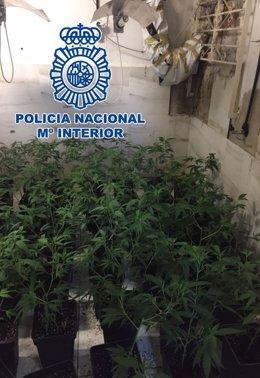 La Policía Nacional Se Incauta De Más De 100 Plantas Marihuana En Alcolea (Córdo