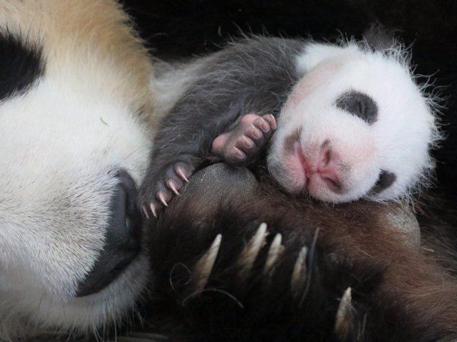 Imagen de la cría de oso panda