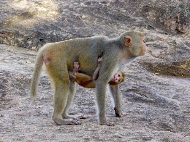 Macacos, monos