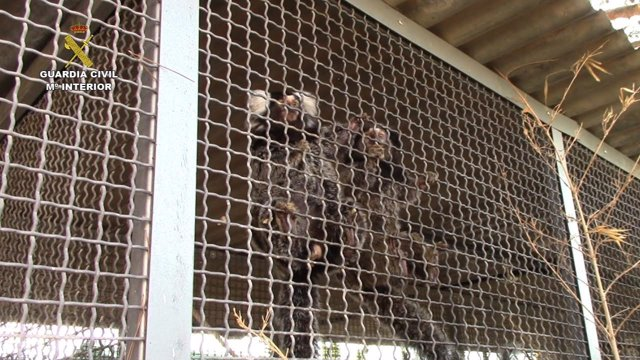Rescatados 25 primates en una operación de la Guardia Civil