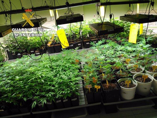 Intervienen una plantación de marihuana en Premià de Dalt