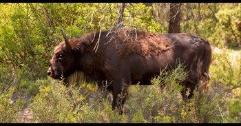 Investigan por maltrato animal a un responsable de la reserva de bisontes...
