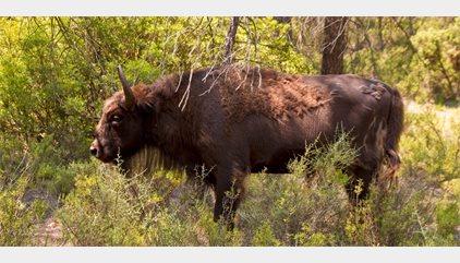 Investigan por maltrato animal a un responsable de la reserva de bisontes donde aparecieron ejemplares decapitados