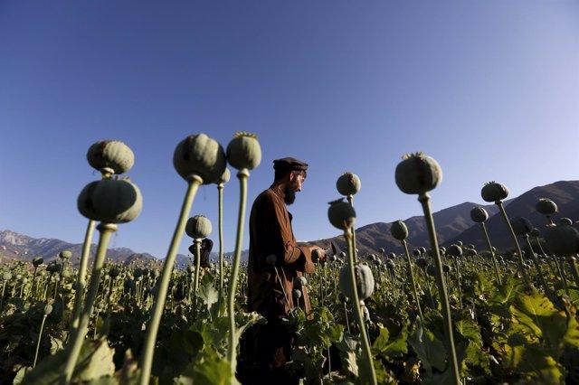 Campos de adormidera en Afganistán