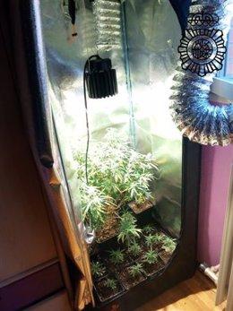 Plantas de marihuana intervenidas en un domicilio en Logroño