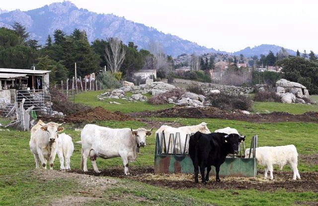 Animal , animales, vaca, vacas, toro, toros, pastar, pastando, ganadería, campo