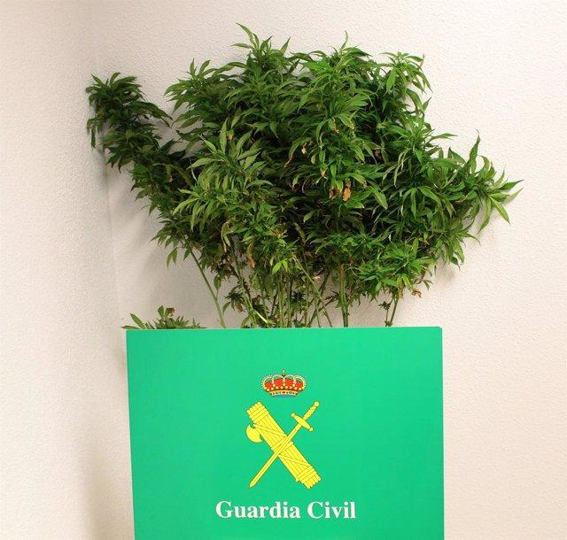 Marihuana intervenida al vecino de Arévalo.