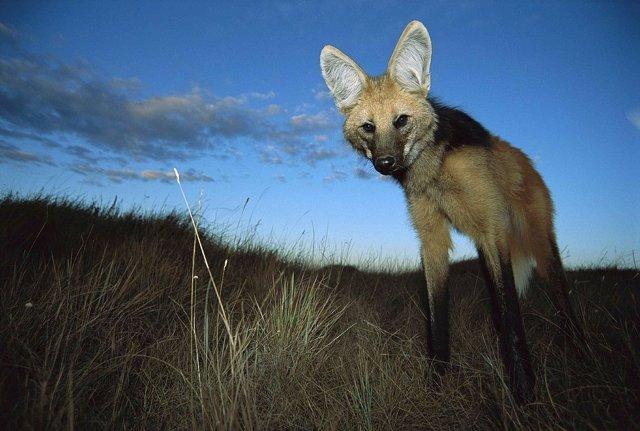 Lobo de crin, especie originaria de Argentina y Paraguay