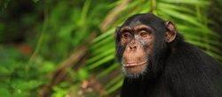 Mestizaje ancestral entre chimpancés y bonobos
